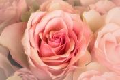 roses-2109442_1920